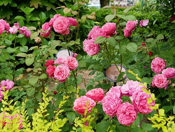 USJのバラ園のバラ