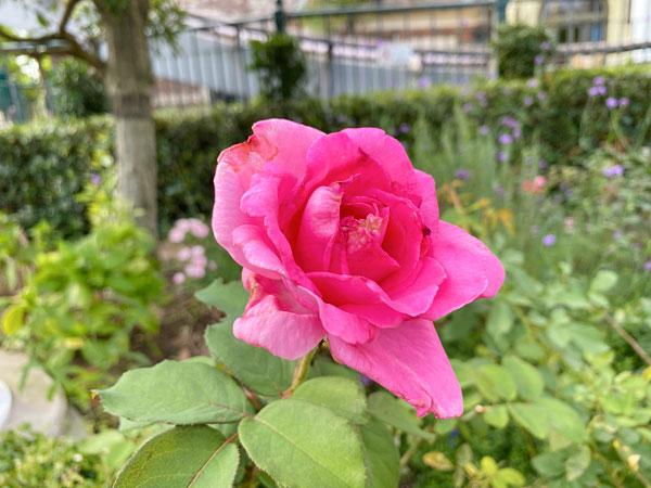 ザ・マッカートニー・ローズ(The McCartney Rose)