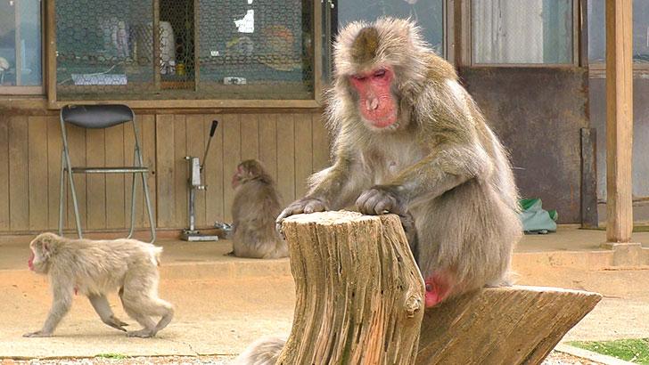 京都嵐山モンキーパークのボス猿