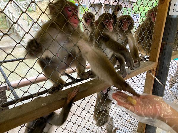 サルにエサをあげているところ