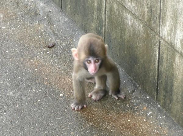 淡路島モンキーセンターの赤ちゃん猿