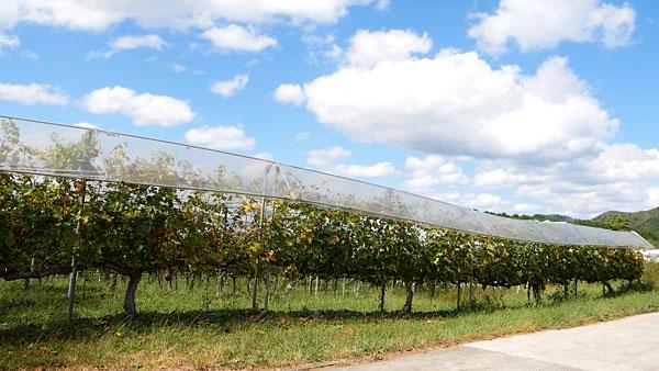 丹波ワインのワイン畑