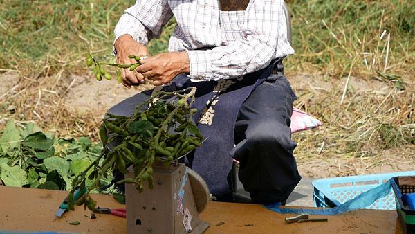 丹波黒枝豆の直売所でおじいさんが枝豆を切っているところ